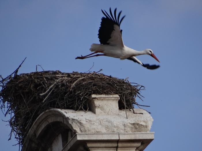 ciguena-volando-desde-su-nido-del-centro-de-alcala-de-henares-espana